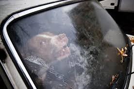 Perro dentro auto