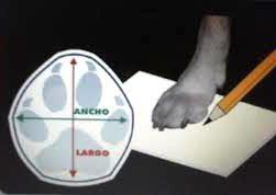como medir pata